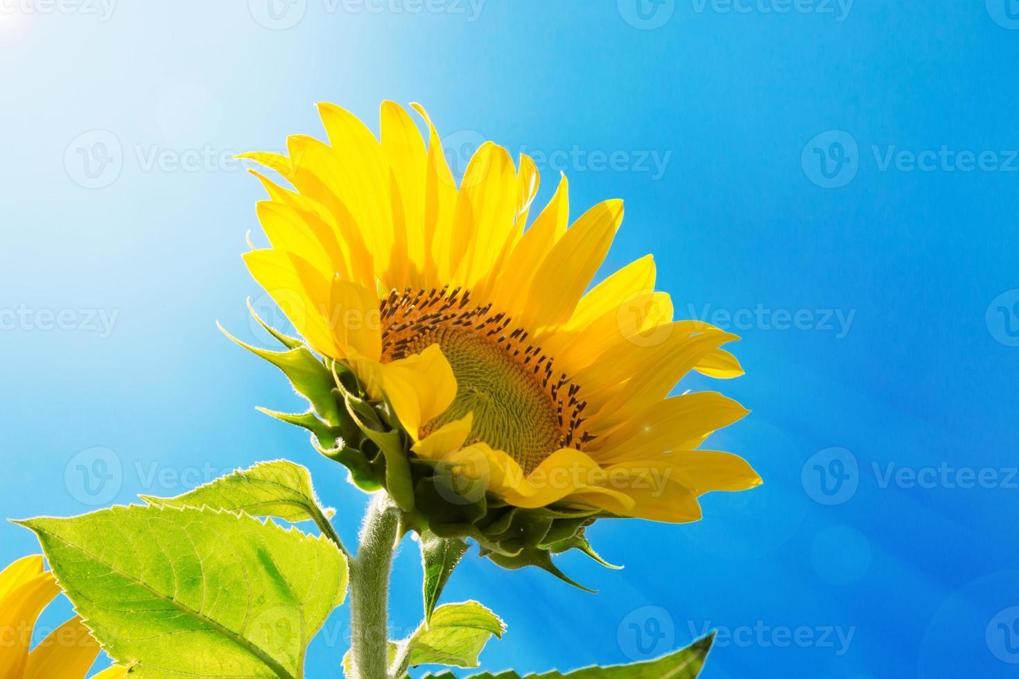 zonnebloem op de hemelachtergrond foto