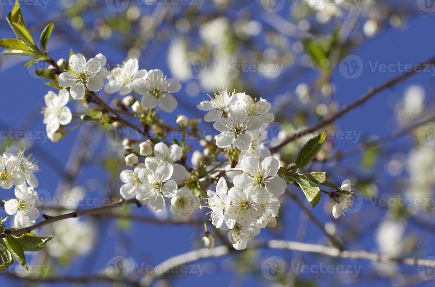 kersenbloesem tegen de blauwe lucht foto