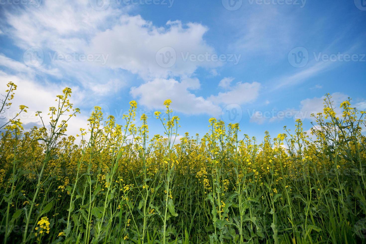 canolagebied en hemel met wolken foto