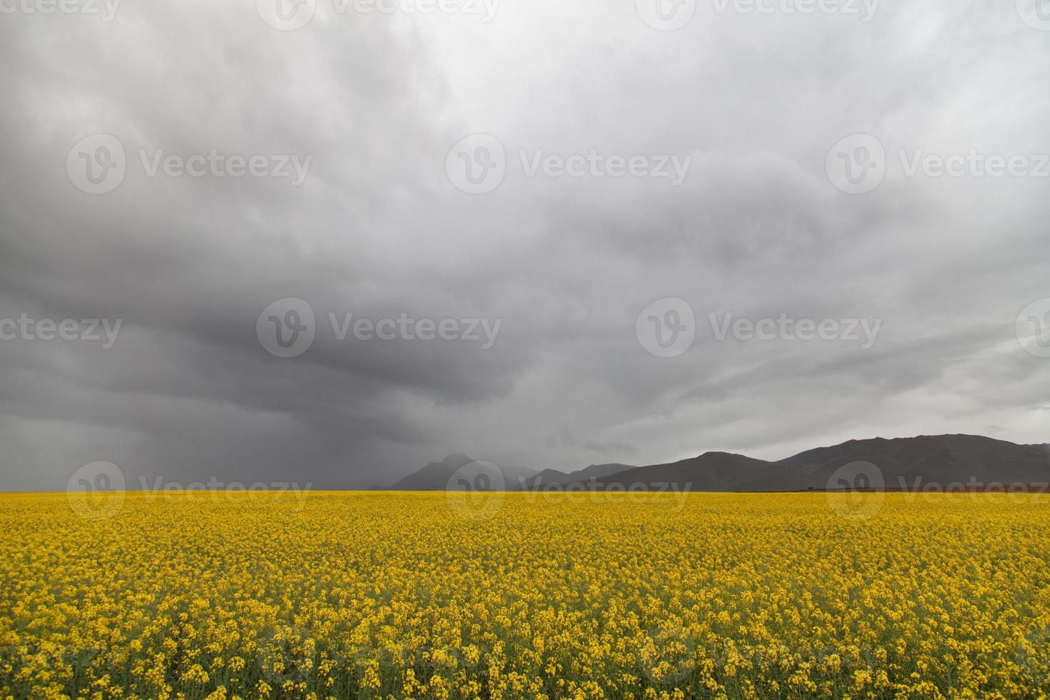 koolzaadvelden onder een stormachtige lucht foto