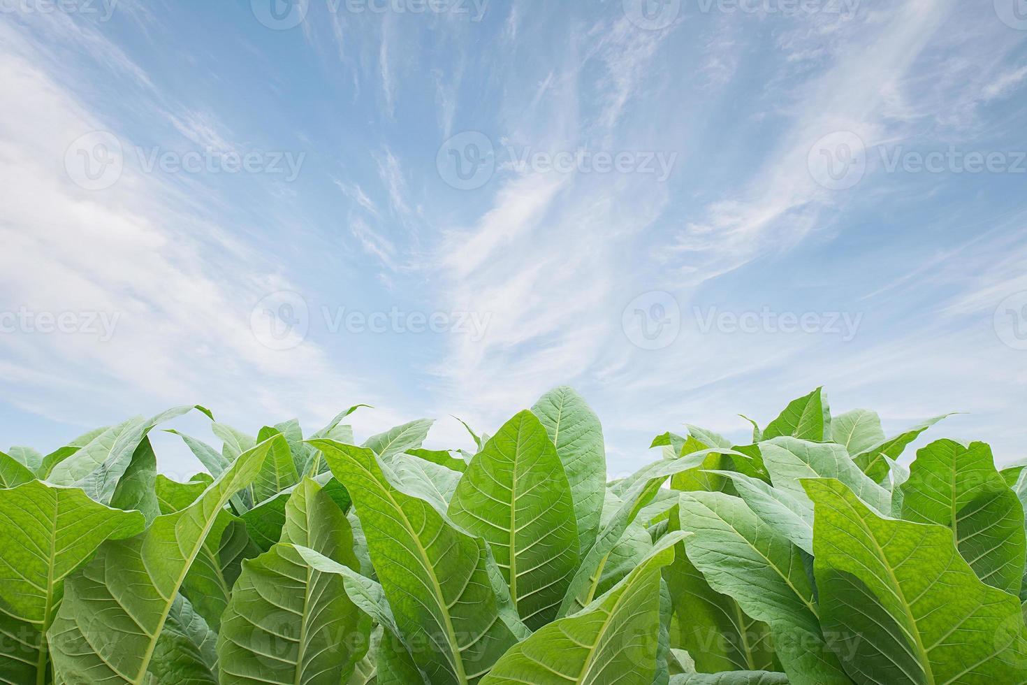 groen tabaksgebied met blauwe hemelachtergrond. foto
