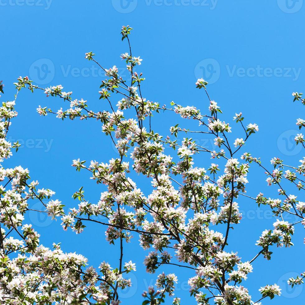 takken van bloeiende appelboom met blauwe lucht foto