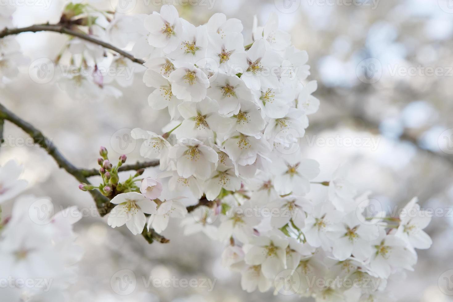 roze kersenbloesem (prunus serrulata) tegen blauwe hemel foto