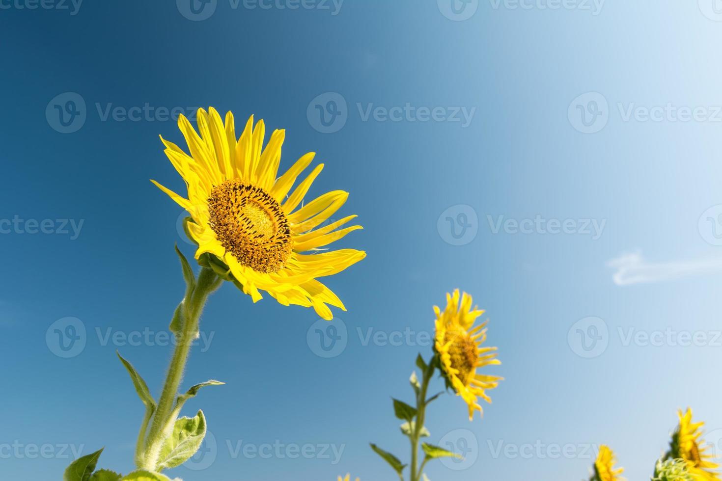 mooi landschap met zonnebloem veld over blauwe hemel foto