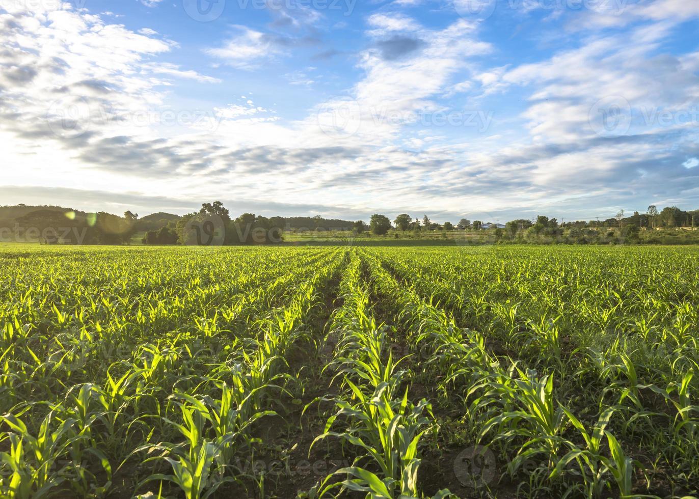 maïsveldzon en blauwe lucht in de ochtend foto