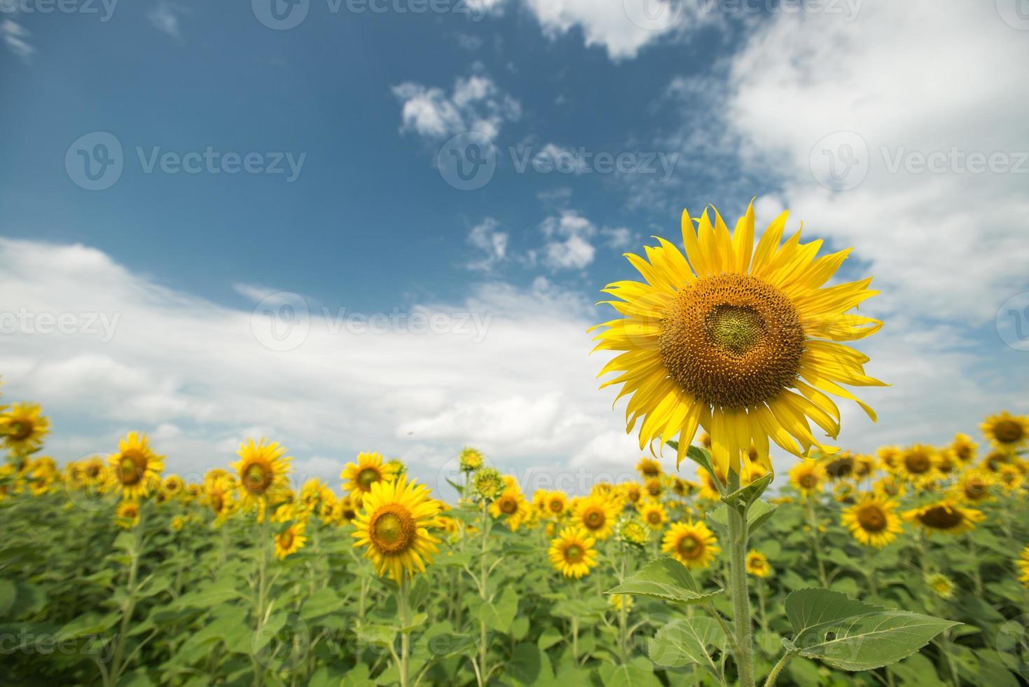 zonnebloem veld en bewolkte hemel foto