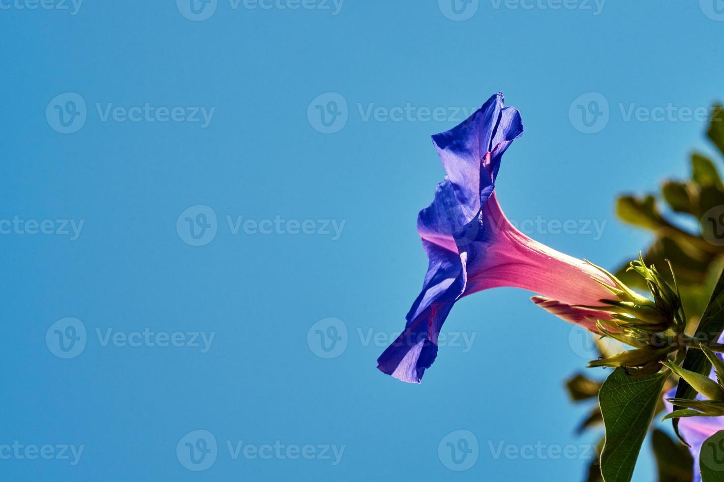 violette bloem bindweed tegen de hemel foto