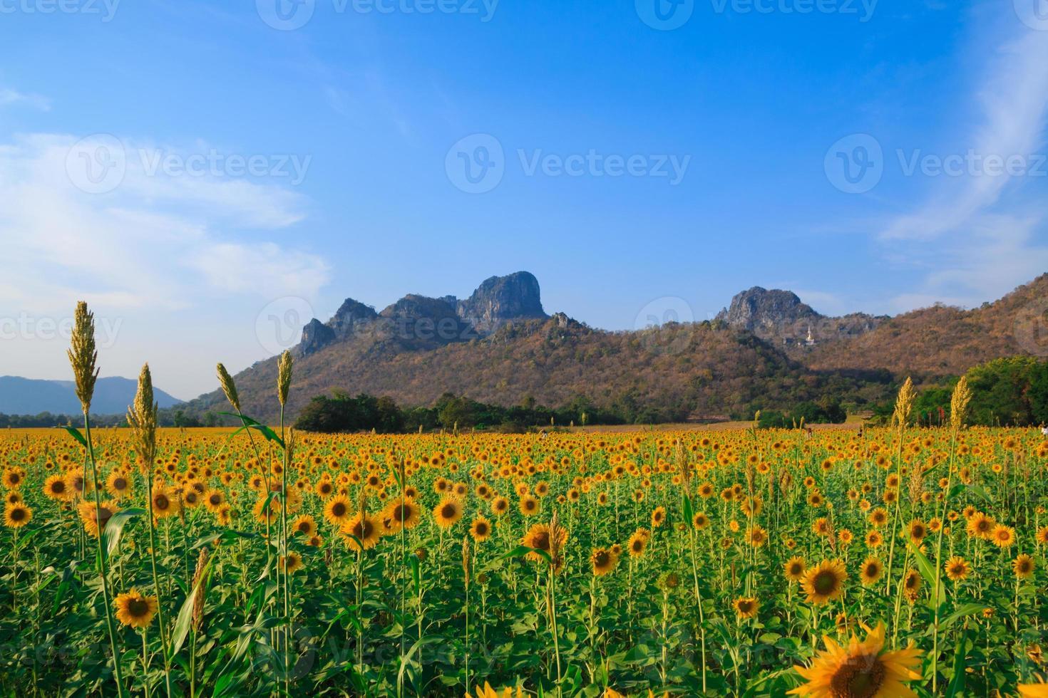gebied van bloeiende zonnebloemen op blauwe hemelachtergrond foto