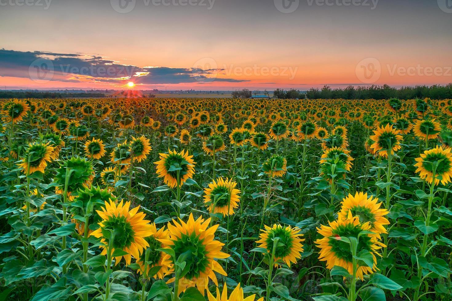 zonnebloem zonsopgang foto