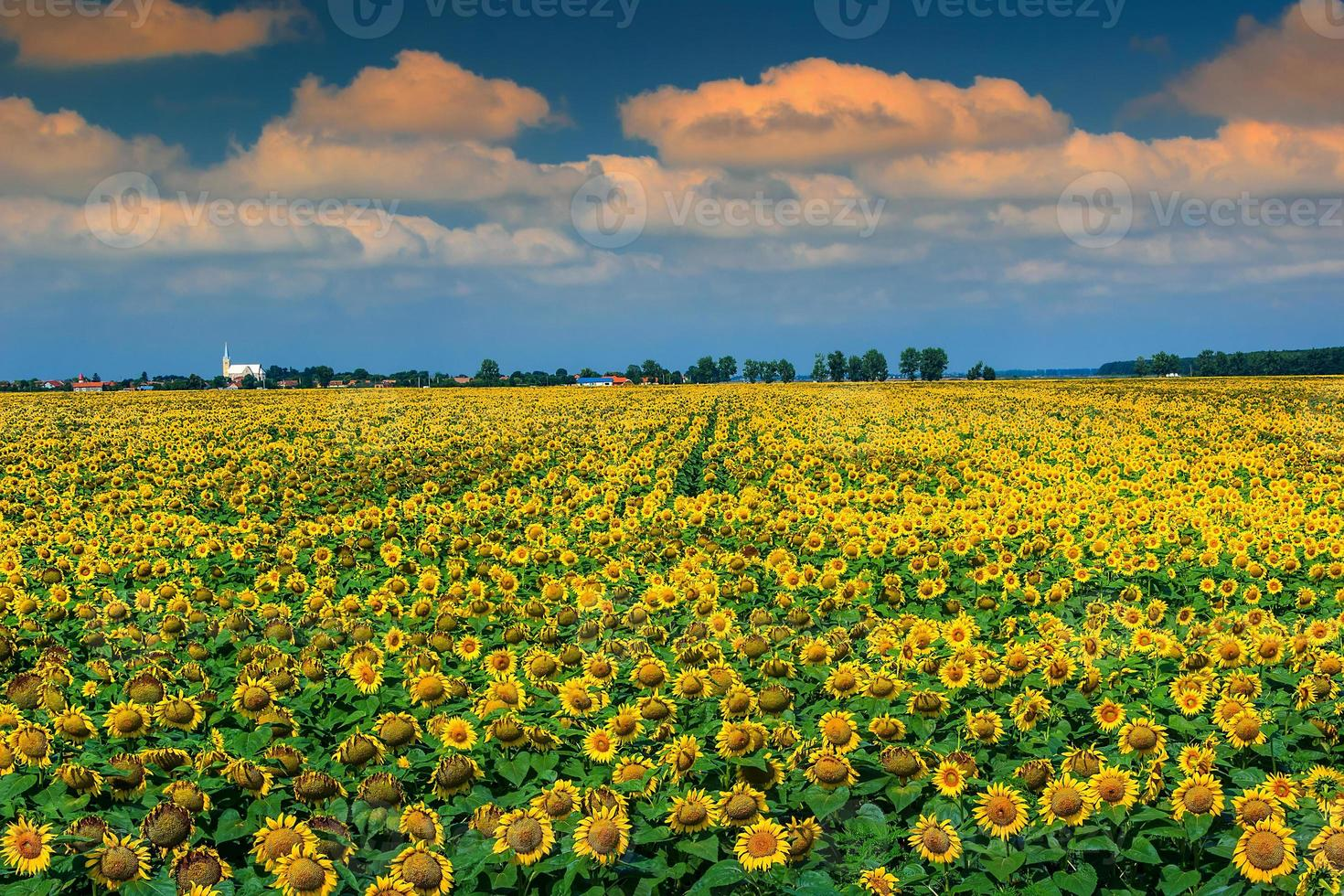 prachtig veld met zonnebloemen en bewolkte hemel, buzias, roemenië, europa foto