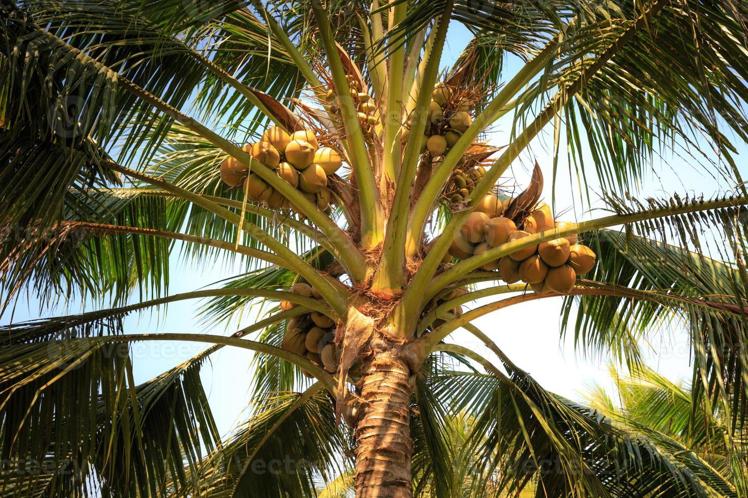 kokospalmen op het platteland van Vietnam foto