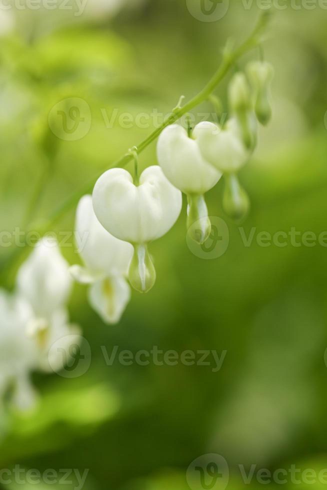 witte bloedende harten bloemen in mijn tuin foto