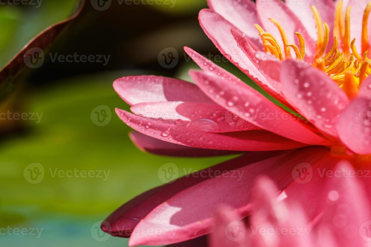 roze waterlelie foto