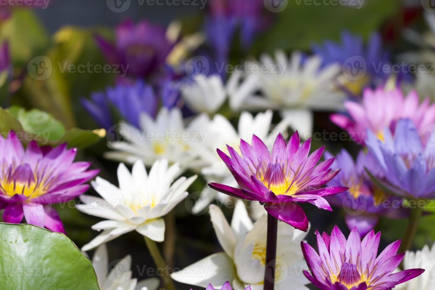 kleurrijke waterlelie foto