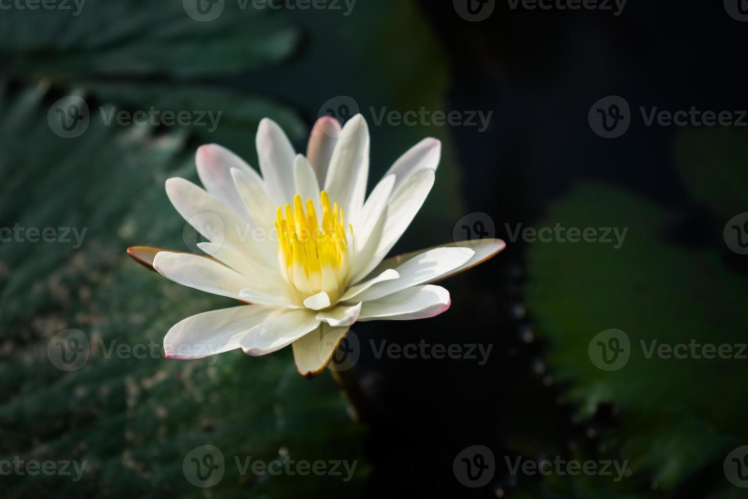 waterlelie bloem foto
