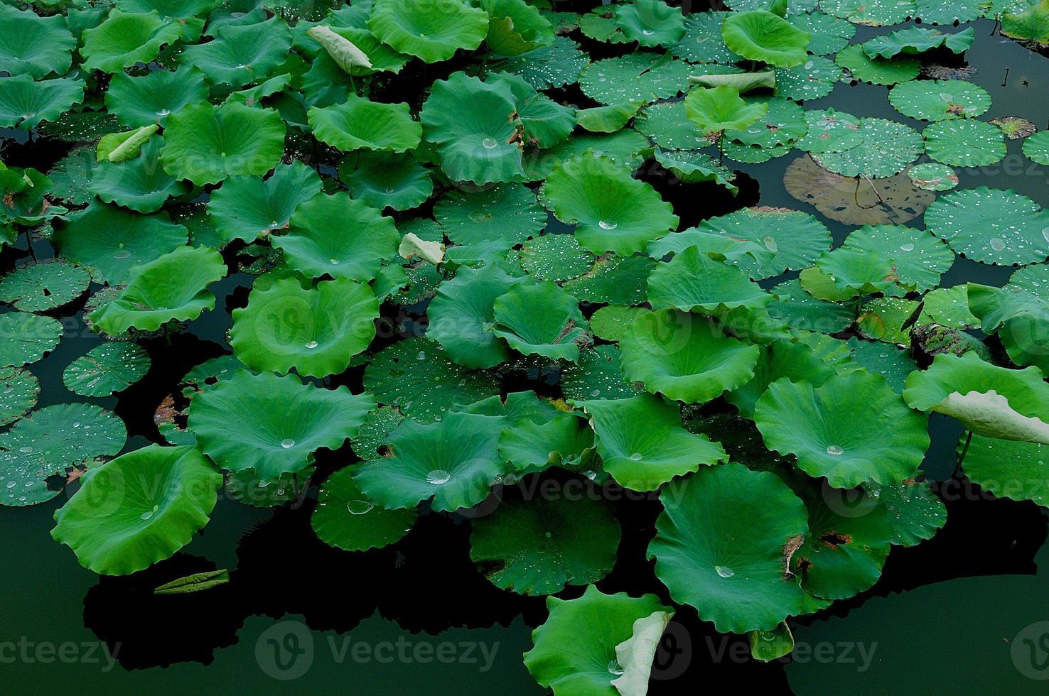 Waterlelie foto