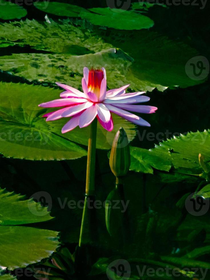 roze waterlelie, roze lotus, nymphaea pubescens foto