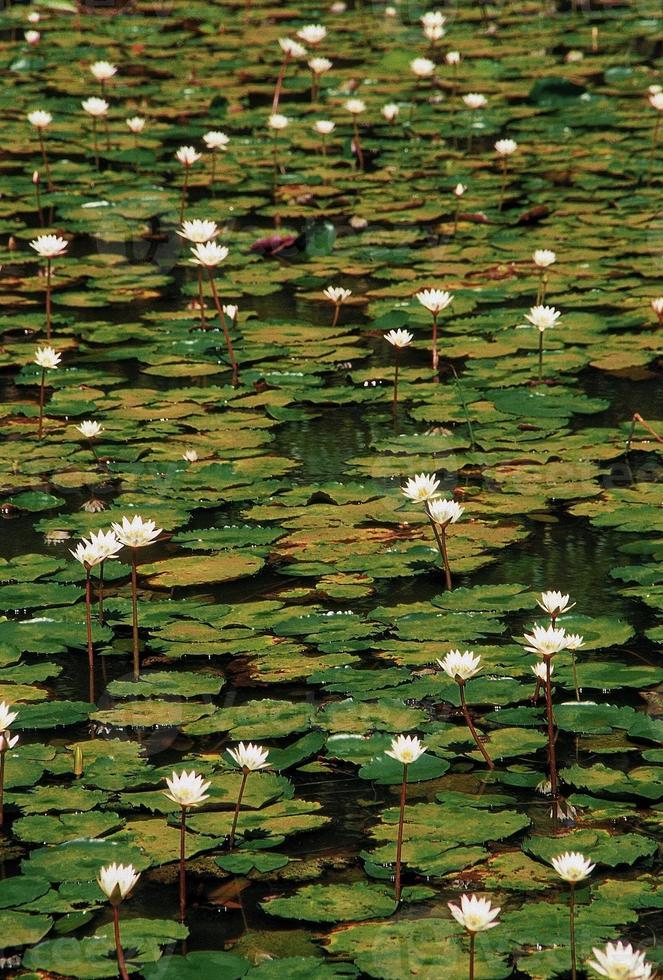 nymphaea odorata, witte lotus foto