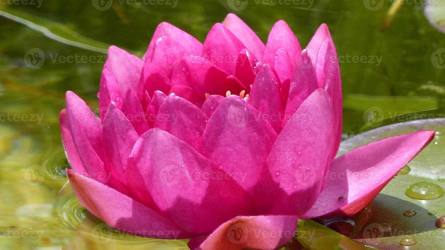 in het rijk van waterlelies / nymphaea james brydon foto