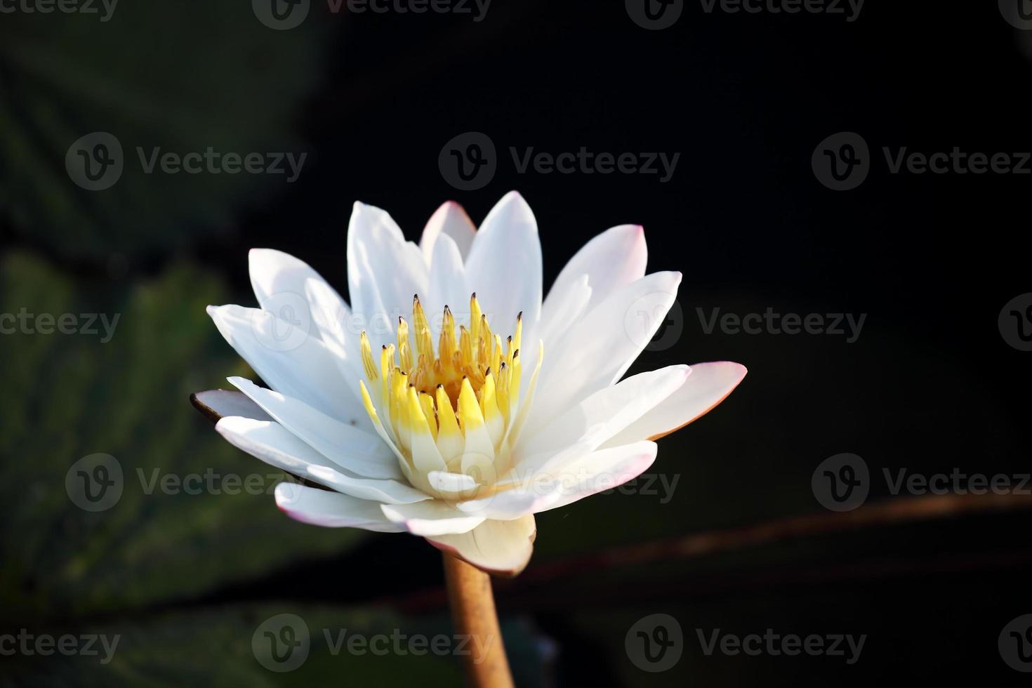 witte lotusbloem foto