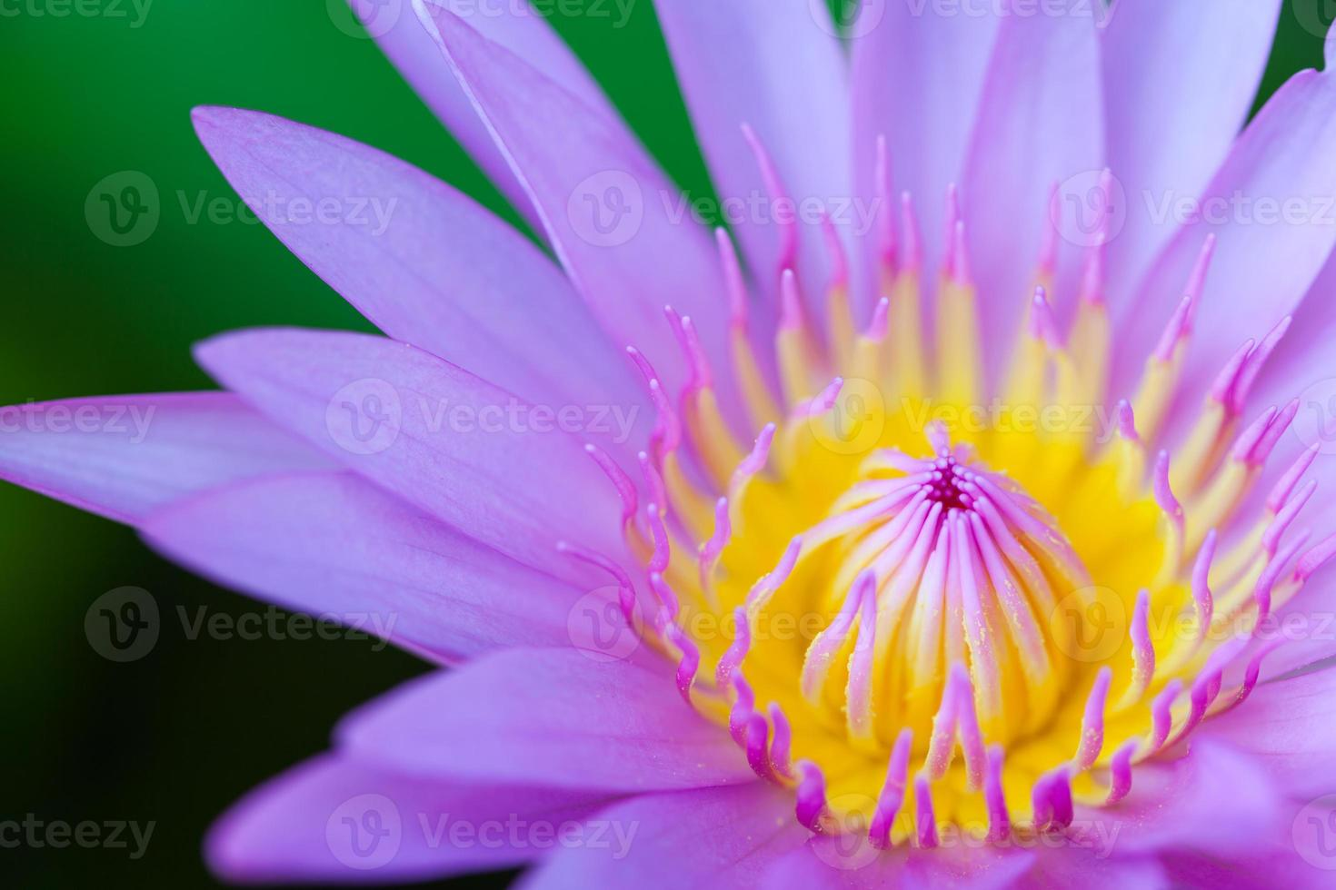 bloei lotus foto