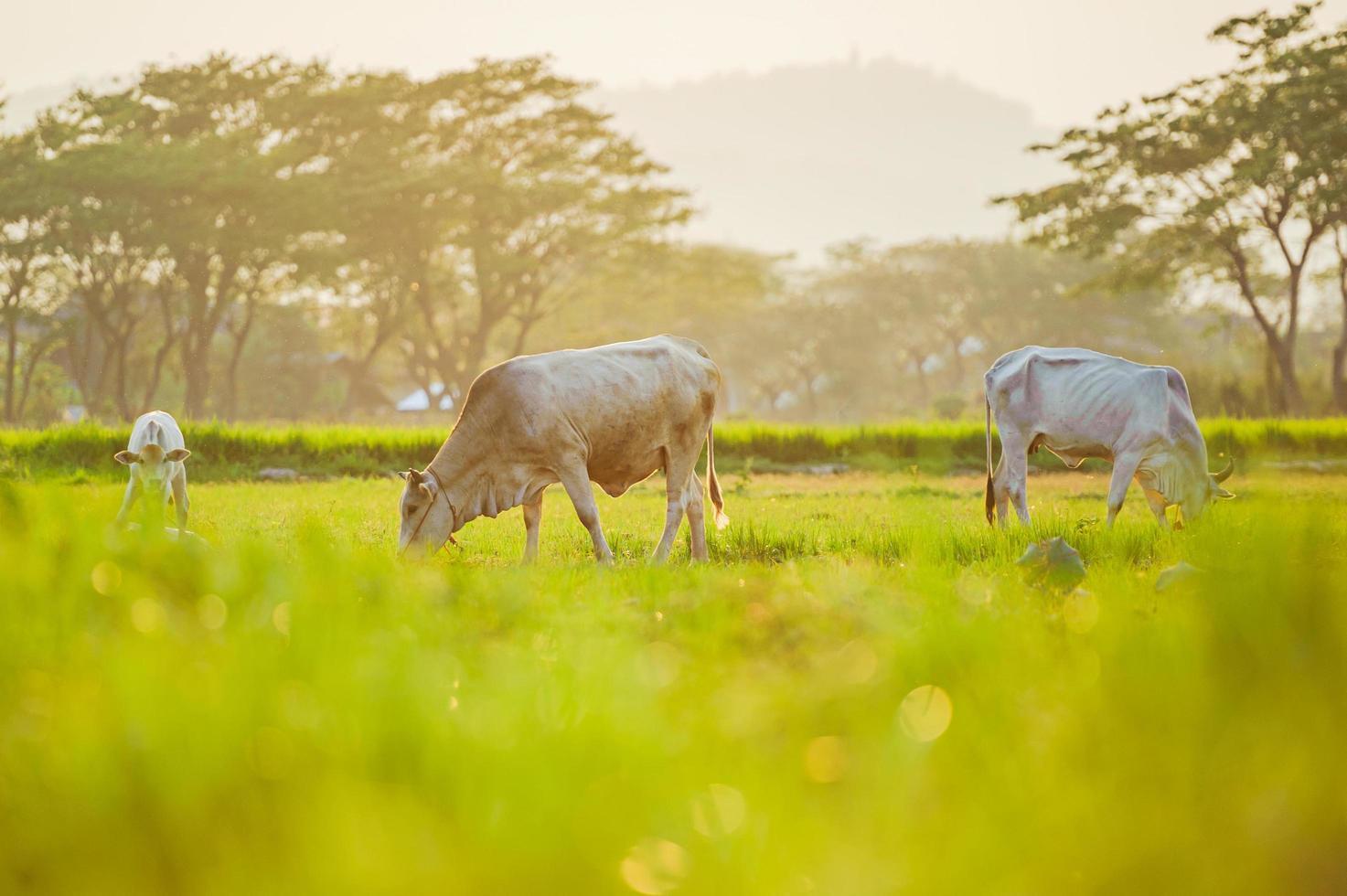 koeien op landbouwgrond foto