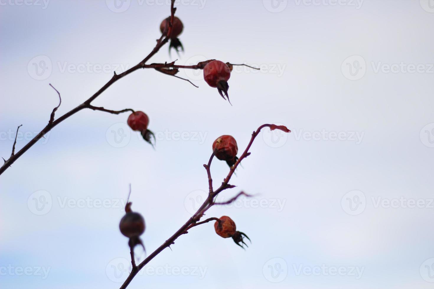 rozenbottel foto