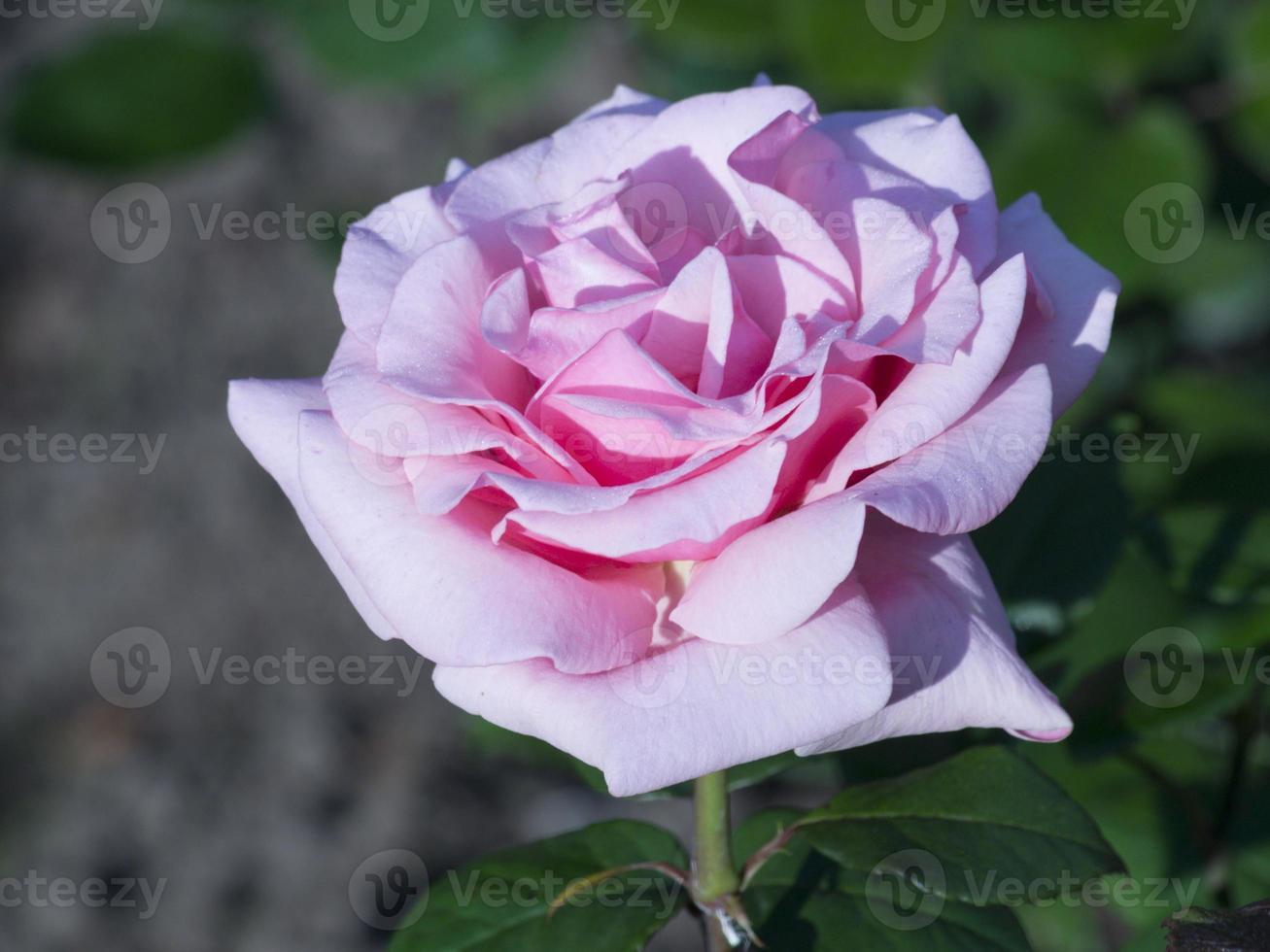 mooie roos in bloei foto