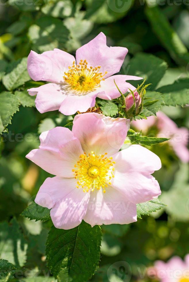 roze eglantines foto