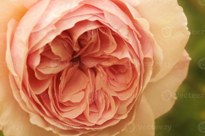roze pastel foto