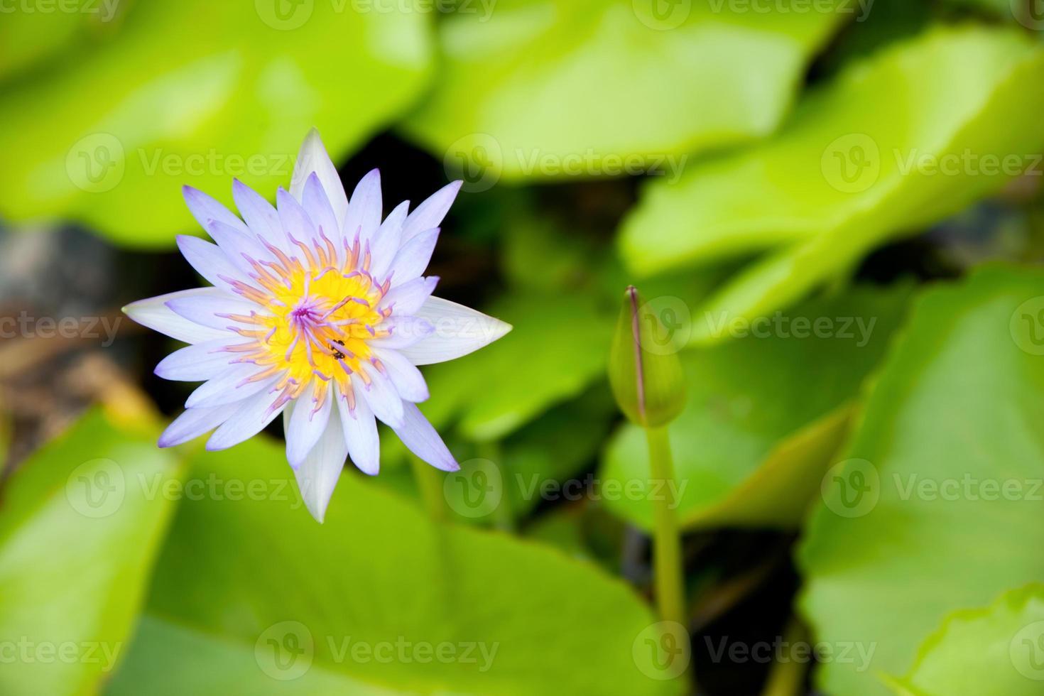 de blauwe lotus. foto