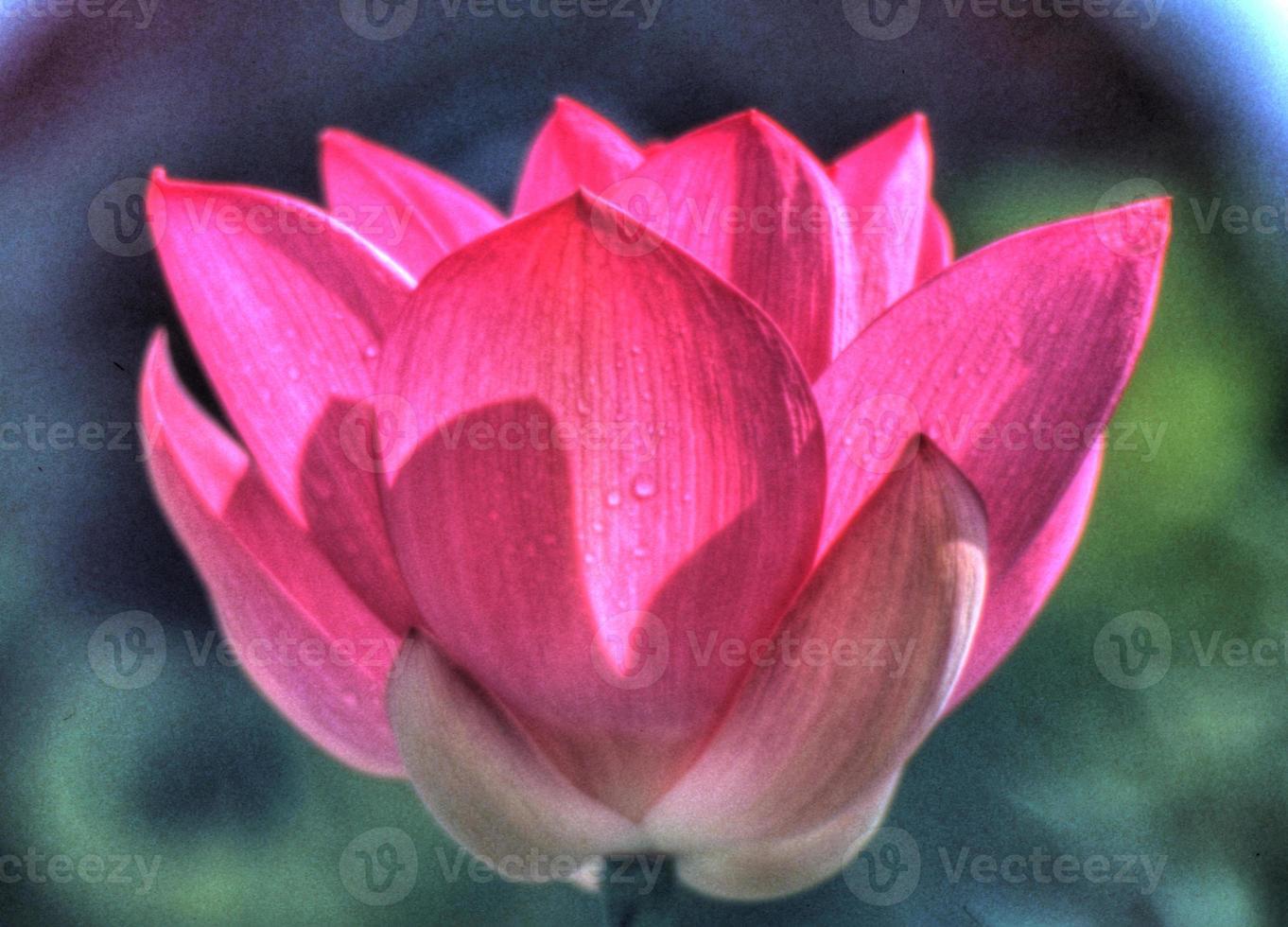 opening roze lotus foto