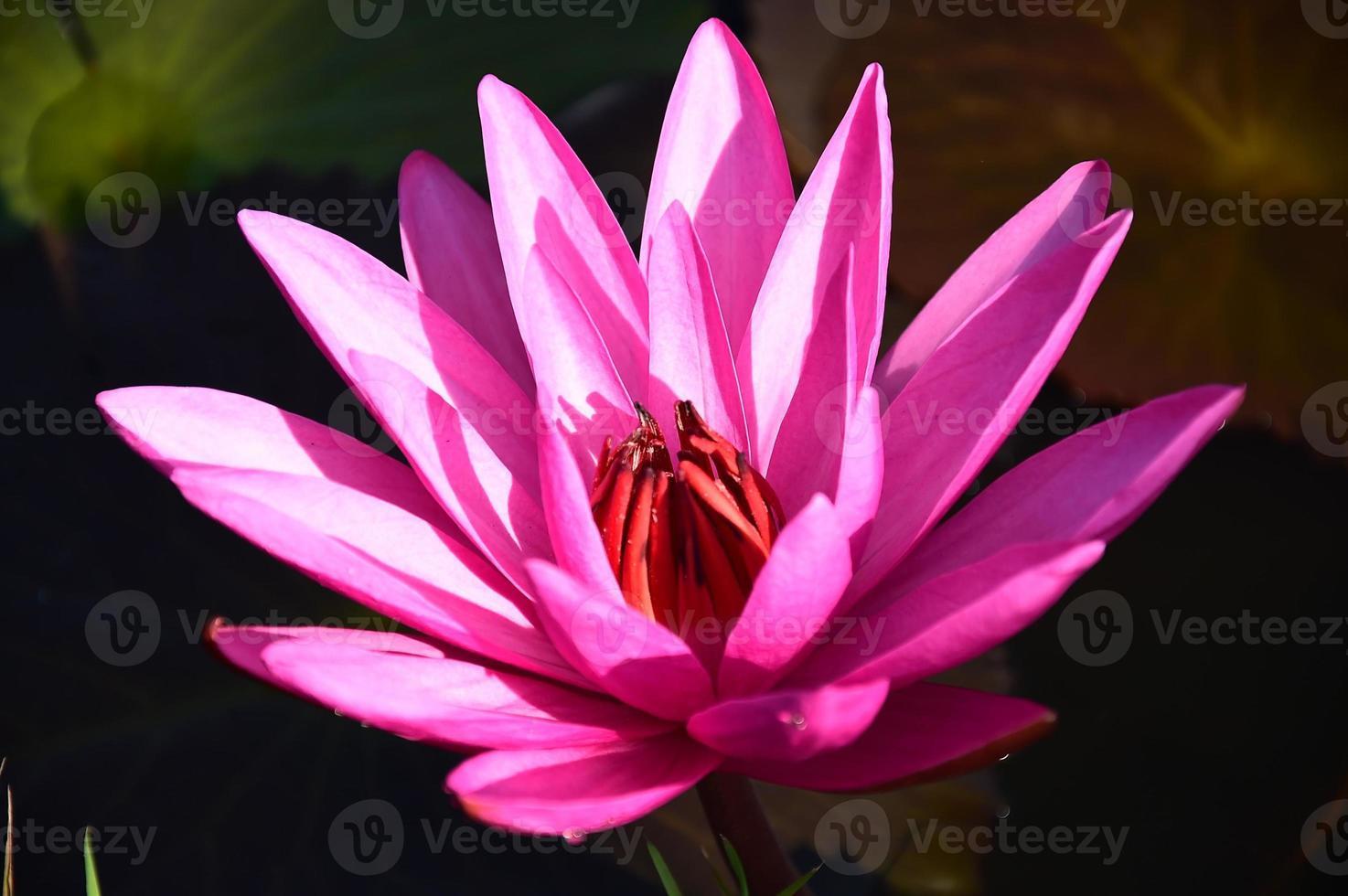 prachtige lotusbloem foto