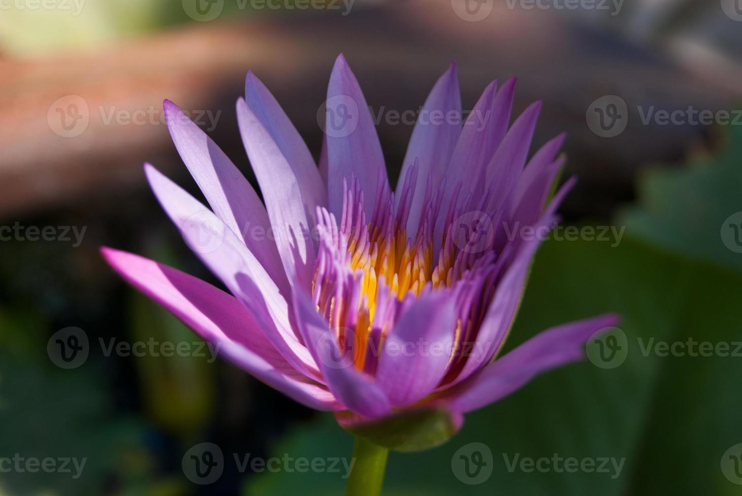 roze lotuskleur foto