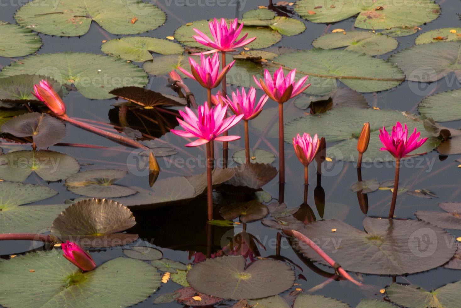 roze lotusbloemen en knoppen in een vijver foto