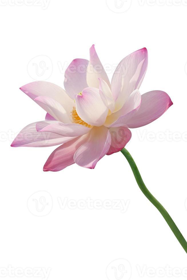 lotusbloem geïsoleerd op wit foto