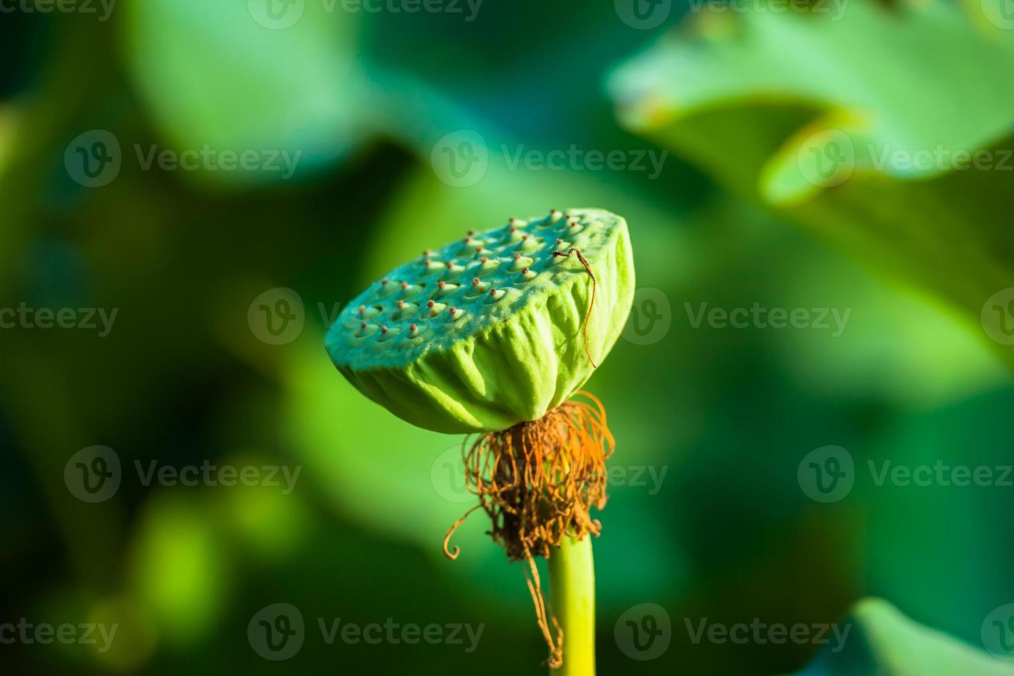 vrucht van de lotus foto