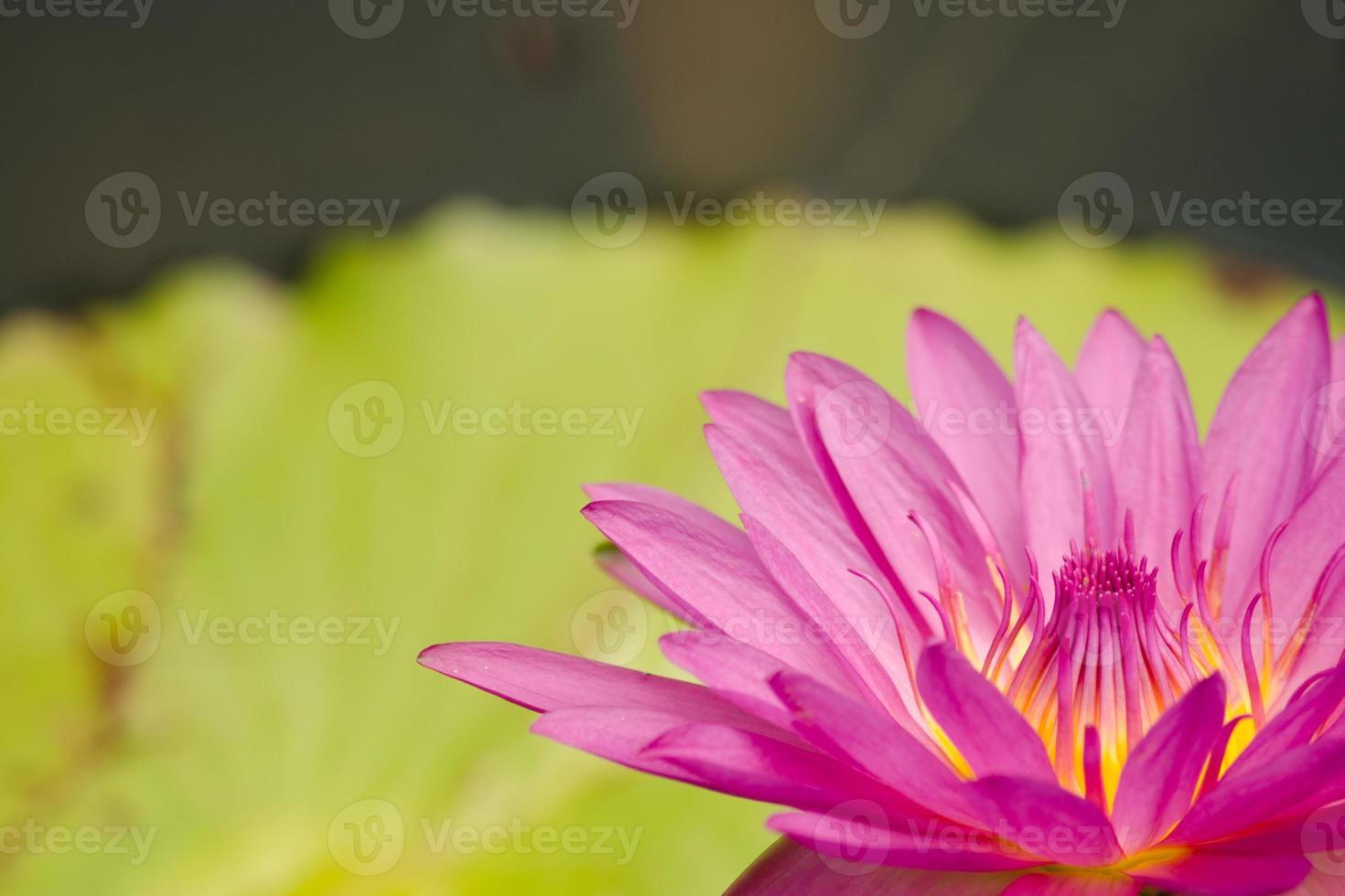 prachtige lotus in vijver foto