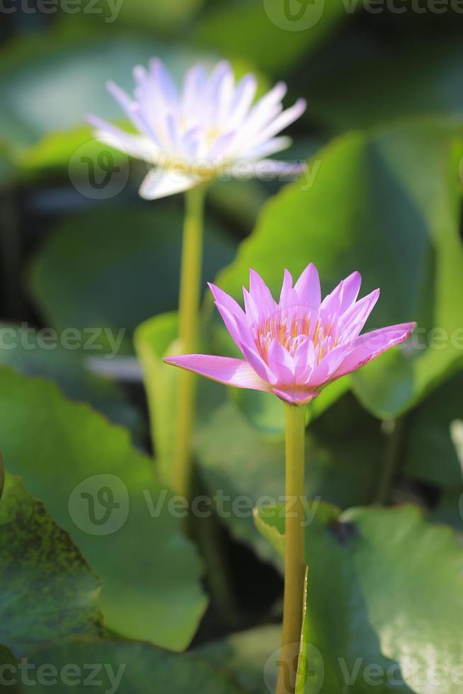 prachtige lotus in de vijver foto