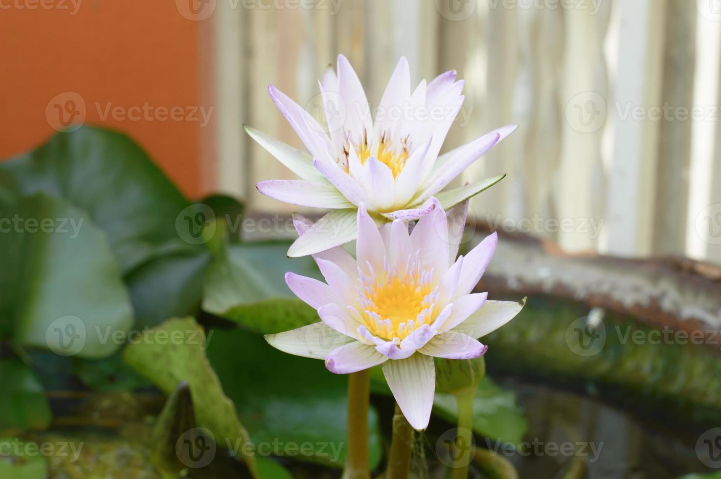 paarse lotus in het bassin foto