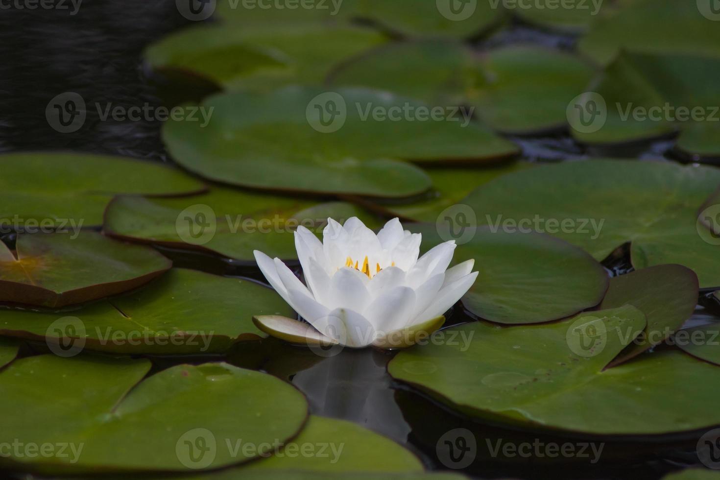 mooie waterlelie of lotusbloem. foto