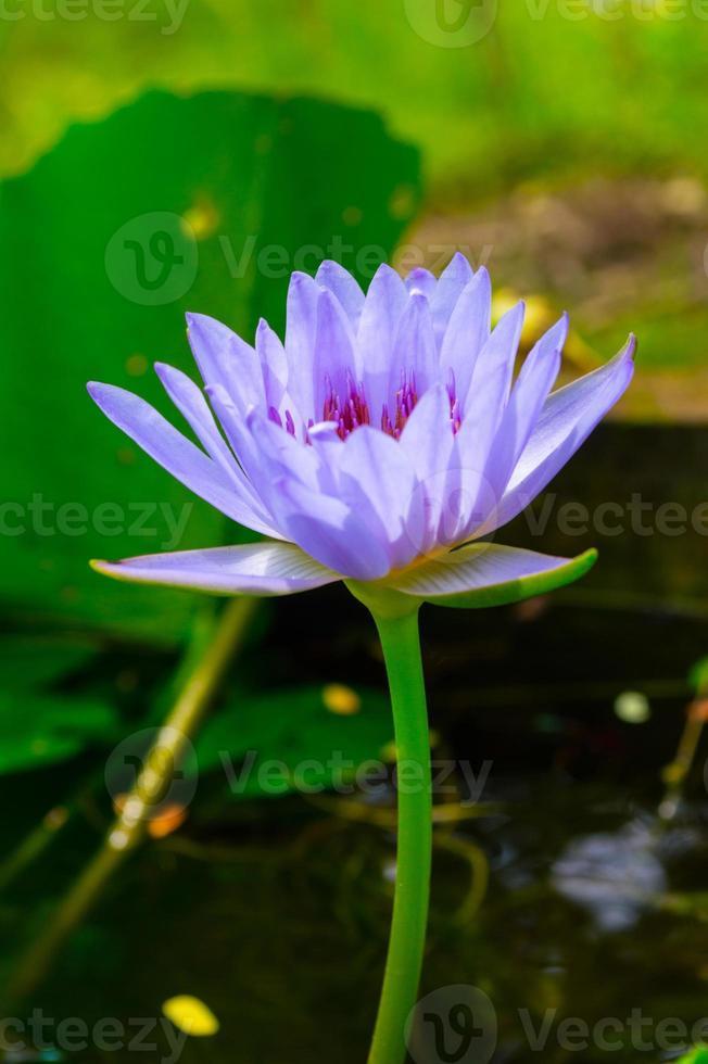 wit-paarse lotus, selectieve aandacht foto
