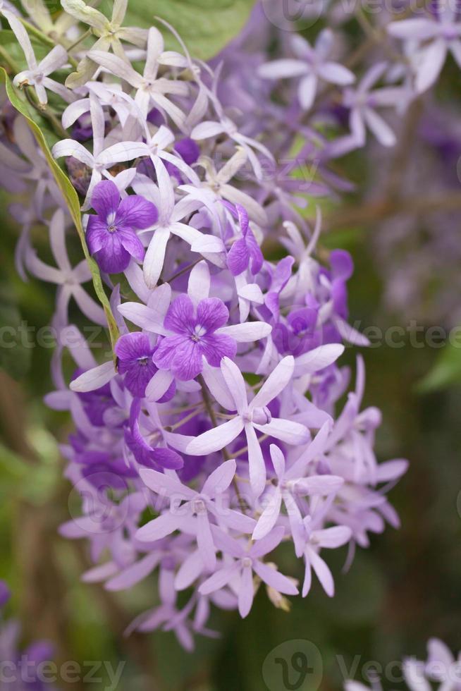 paarse krans fllower foto