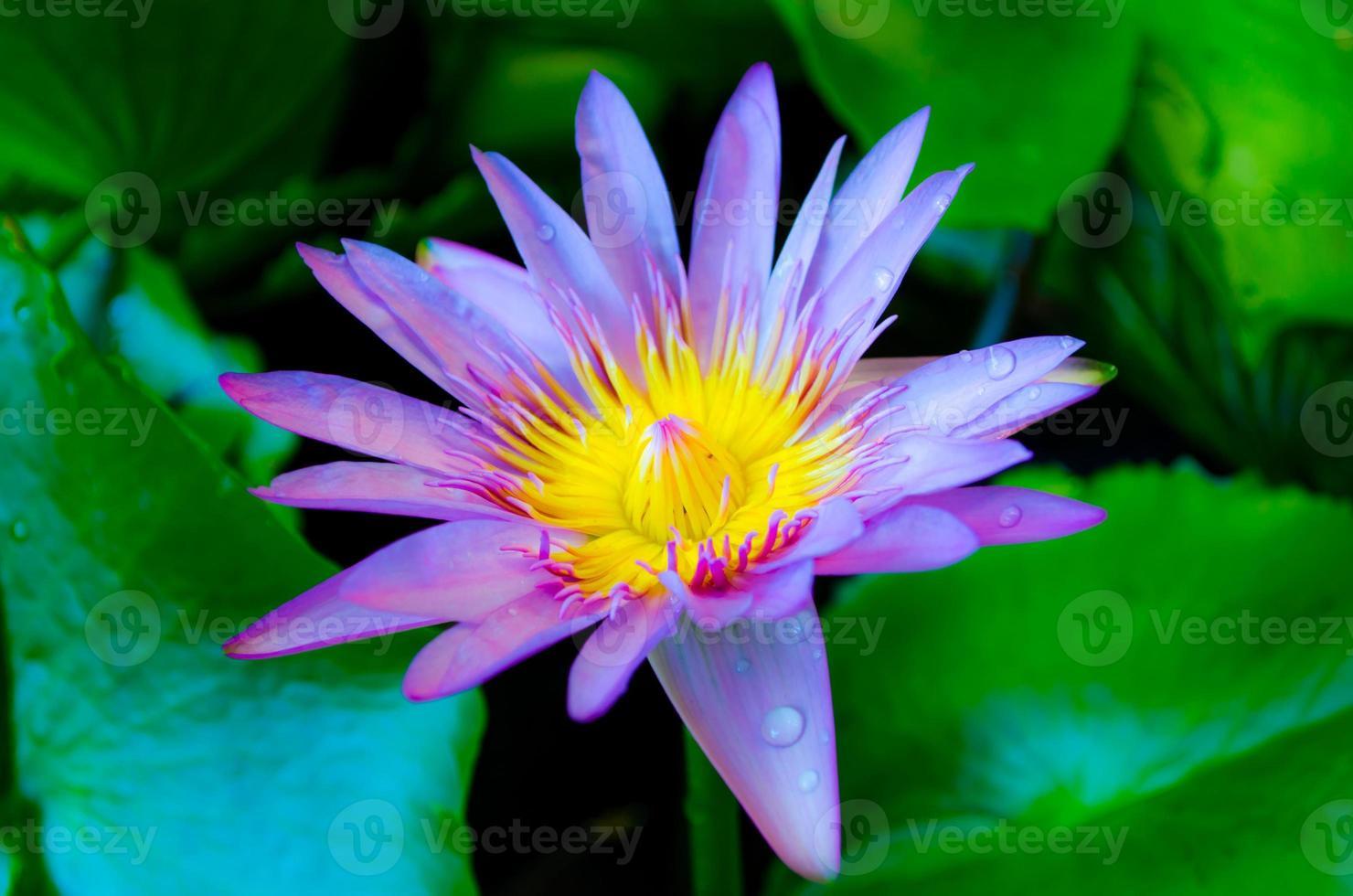 de prachtige paarse lotusbloemfee foto