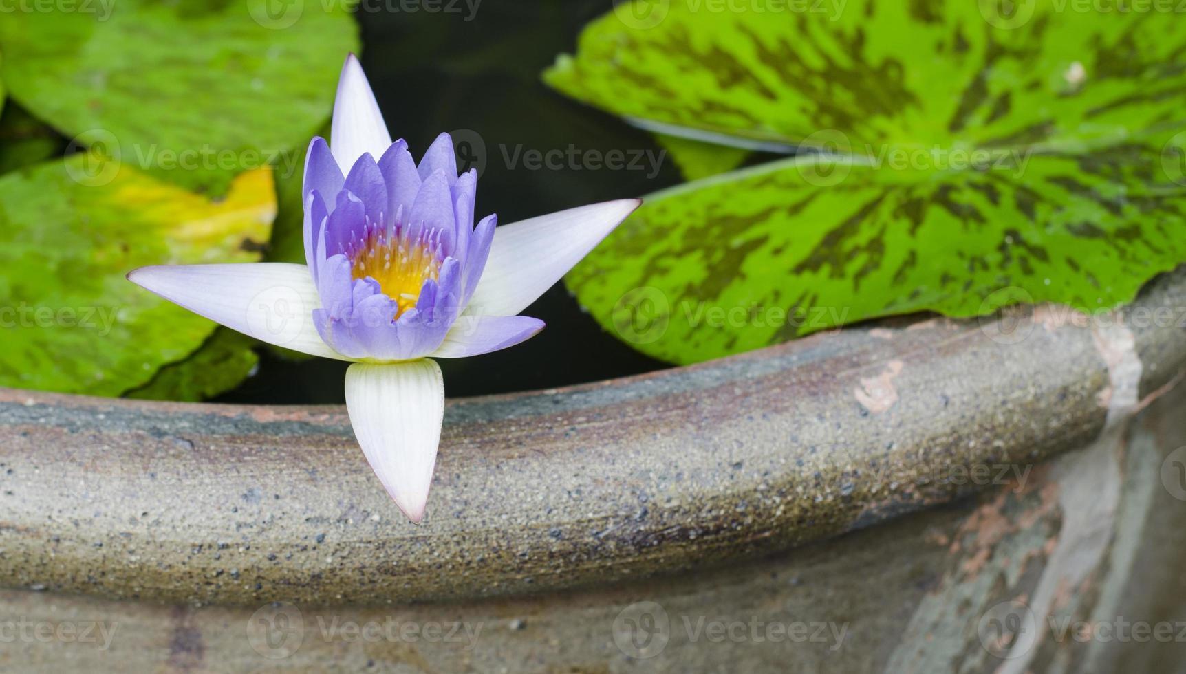 lotusbloem paarse kleur foto