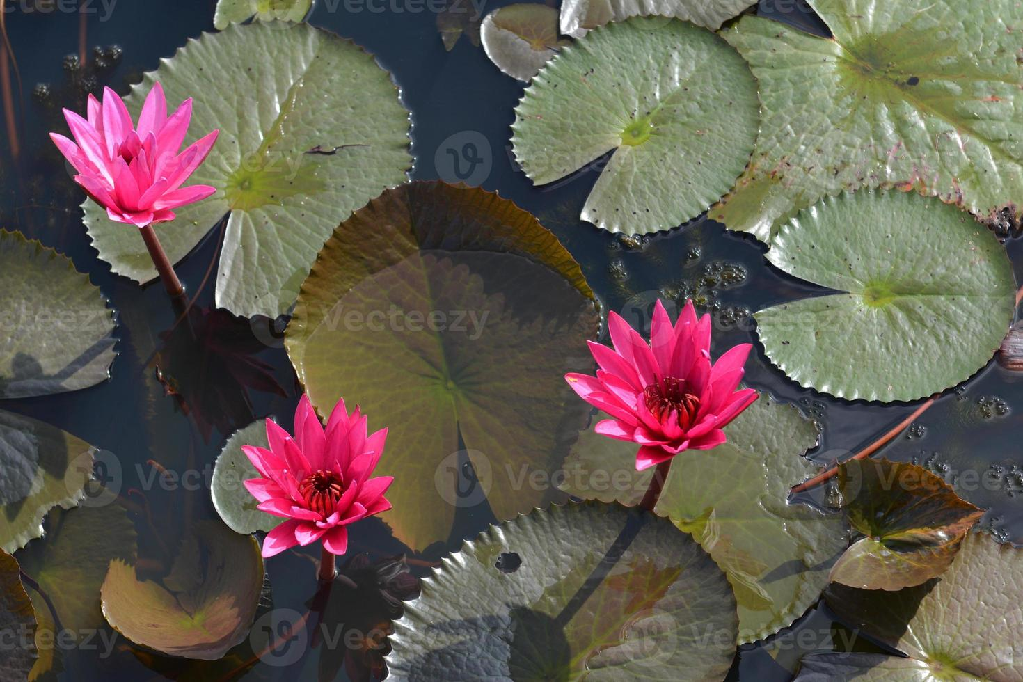 """roze lotus in lotusmoeras bij """"talay-noi"""" pattalung provincie, thaialnd foto"""