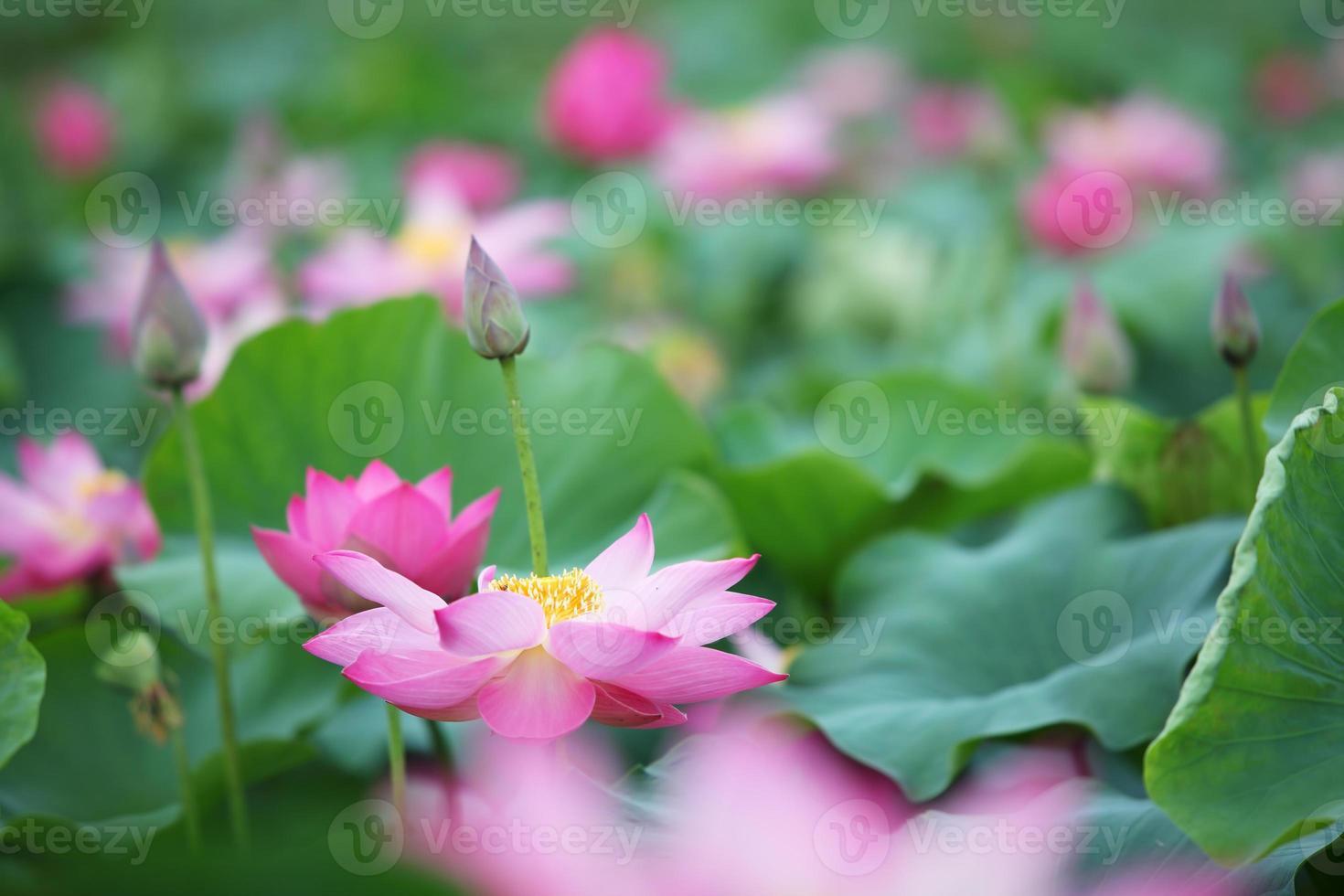 lotusbloem in vijver foto
