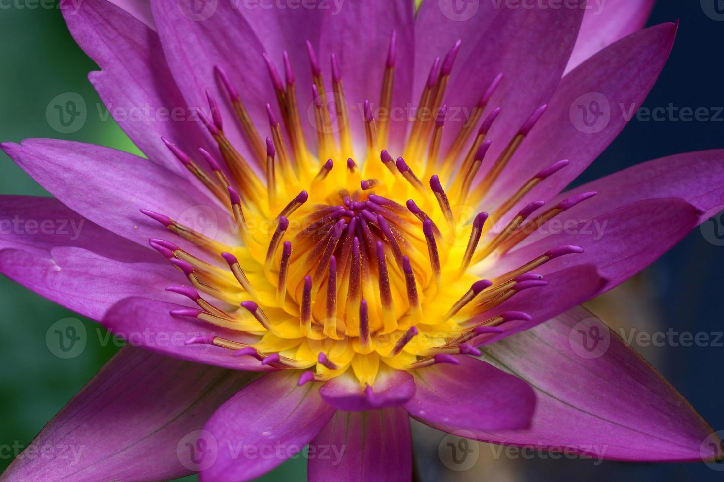 roze lotusbloem, waterlelie. foto