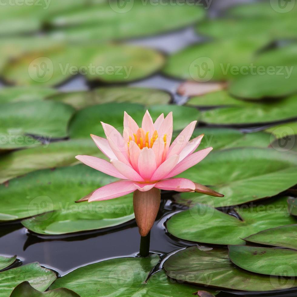 de lotus met mooi foto
