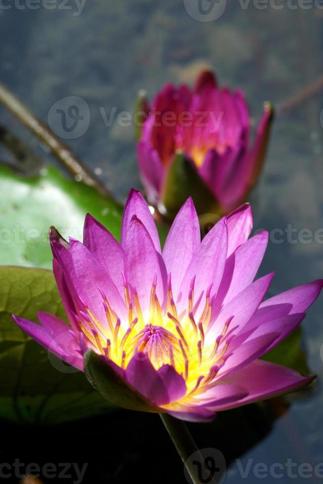 mooie roze waterlelie of lotusbloem. foto